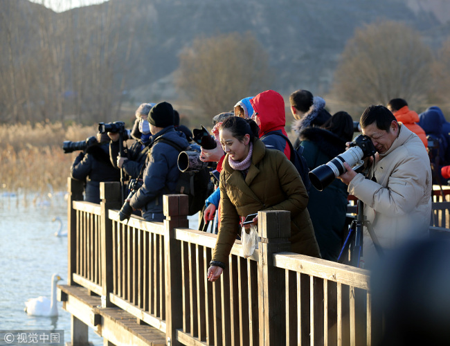 Visitors watch and take photos of the swans in the lake of Pinglu County in Shanxi Province on Dec 16, 2017. [Photo: VCG]