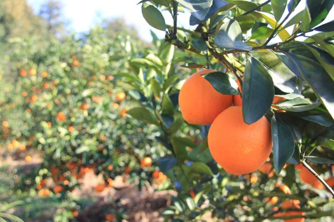 Statistics show that developing navel oranges has been the most efficient way of alleviating poverty in southern Jiangxi province, where there is there's a big population with less arable land. [Photo: China Plus/ Li Shiyu]