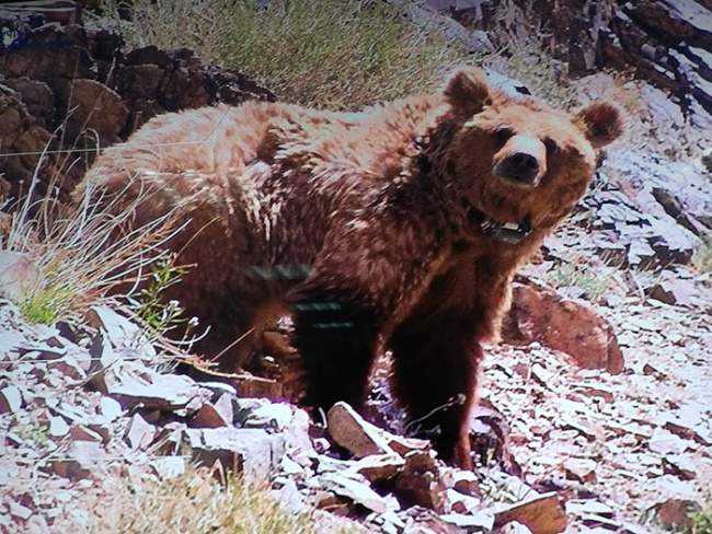 Undated photo of the Gobi bear, which the Chinese government is moving to support through financing and technology provided to the Mongolian government. [Photo: People's Daily]