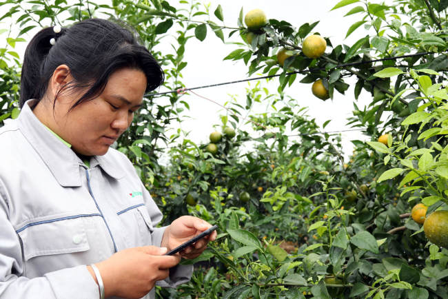 Wei Huating, keeper of Haisheng citrus orchard, reads analysis results for soil data on her mobile phone at the orchard in Laibin, Guangxi Zhuang Autonomous Region on October 23, 2018. [Photo: China Plus/Sang Yarong]