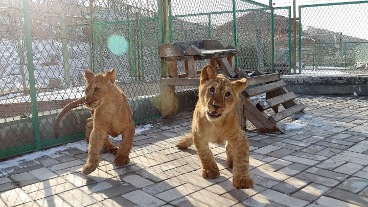 China succeed in breeding African lions in Qinghai-Tibet plateau