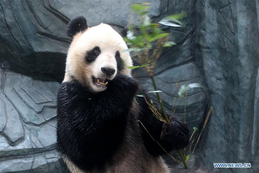 Giant pandas arrive in Huangshan, east China's Anhui - China