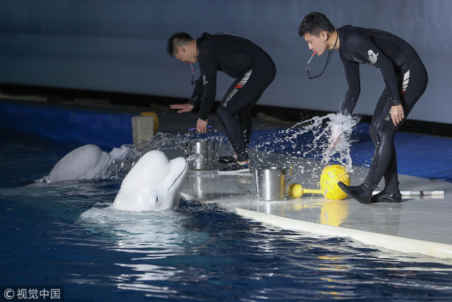 A ceremony is held on Jan. 4, 2019, to say goodbye to the two beluga whales who will be relocated to a sanctuary off Iceland this spring at Shanghai's Changfeng Ocean World aquarium, where the pair has been performing for visitors since 2012. [Photo: VCG]