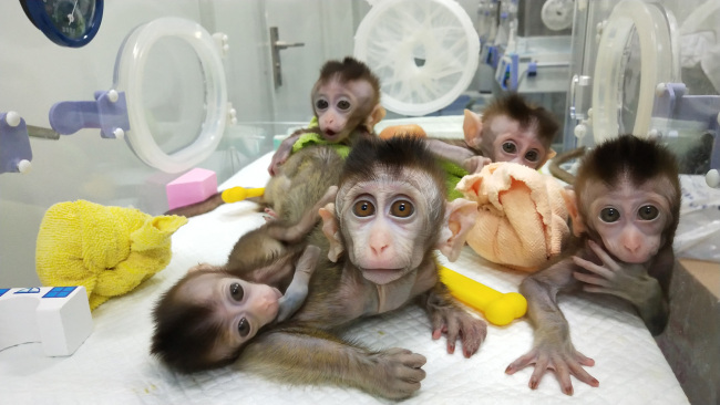 Photo shows the five cloned monkeys with circadian rhythm disorders. [Photo: China Plus]