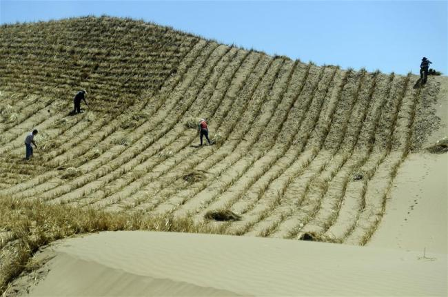 Photo taken on July 23, 2013 shows workers making straw checkerboard sand barriers in Lingwu City, northwest China's Ningxia Hui Autonomous Region. [Photo: Xinhua]
