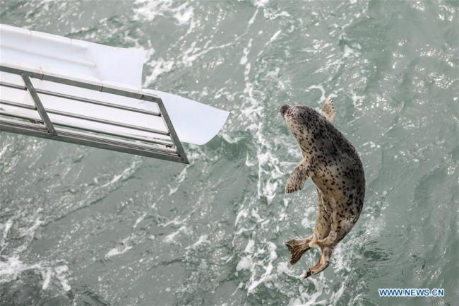Photo taken on April 11, 2019 shows a spotted seal being released back into the wild in Dalian, northeast China's Liaoning Province. [Photo: Xinhua]