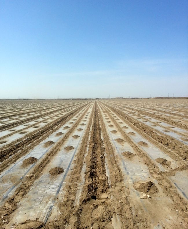 The irrigation pipeline in a cotton field in Shihezi City, Xinjiang. [Photo provided by Xinjiang Tianye Water Saving Irrigation Systems]