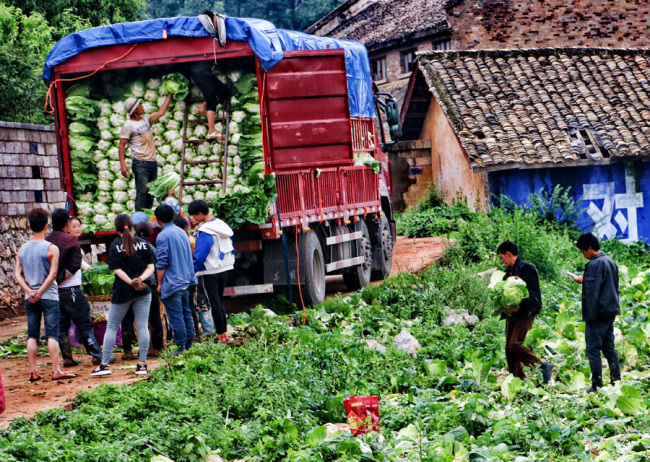 Farmers in Bijie, southwest China's Guizhou Province load cabbages on a truck on July 7, 2019. Cabbage raising has become a pillar industry here and helps local farmers get rid of poverty. [Photo: IC]