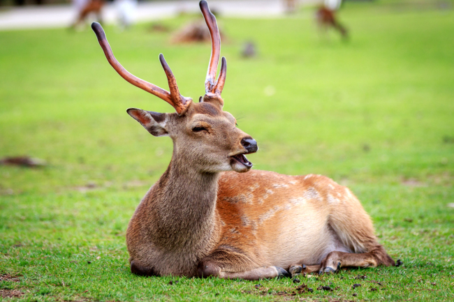 A deer in Japan's Nara Park. [File photo: IC]