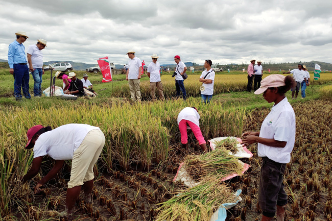 Hybrid rice is harvested in Madagascar.[Photo: courtesy of Yuan's International Agricultural Development Co., Ltd.]