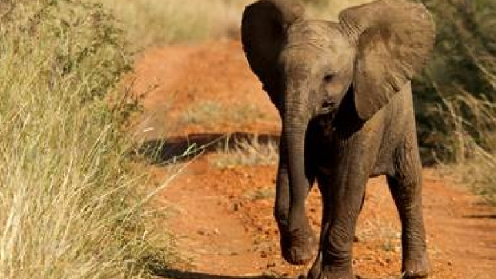 African countries banned from selling baby elephants