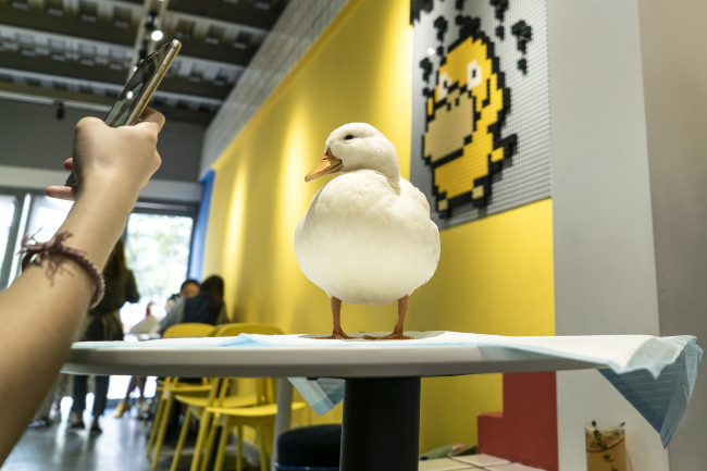 This photo taken on August 29, 2019 shows a customer(顾客 gùkè) taking photos of a duck at Hey! Wego duck cafe in Chengdu in China's southwestern Sichuan province. [Photo: AFP/Pak YIU]