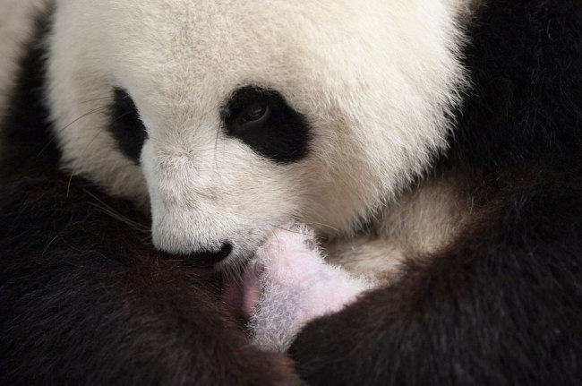 This recent handout picture released on September 13, 2019 by the Zoo Berlin shows giant panda mother Meng Meng with one of her two cubs at the Zoologischer Garten zoo in Berlin. [Photo: Zoo Berlin/AFP/Werner Kranwetvogel]