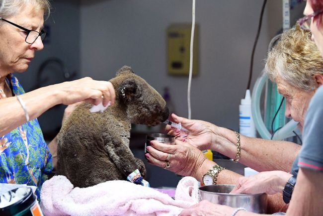 A dehydrated and injured Koala receives treatment at the Port Macquarie Koala Hospital in Port Macquarie on November 2, 2019, after its rescue from a bushfire that has ravaged an area of over 2,000 hectares. Hundreds of koalas are feared to have burned to death in an out-of-control bushfire on Australia's east coast, wildlife authorities said October 30. [Photo: VCG]