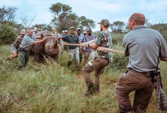 A handout photo released by African Parks and taken on February 15, 2017 shows a capture team moving an Eastern Black Rhino towards a transport crate at Thaba Tholo Game Ranch near Thabazimbi in South Africa. [Photo: AFP]
